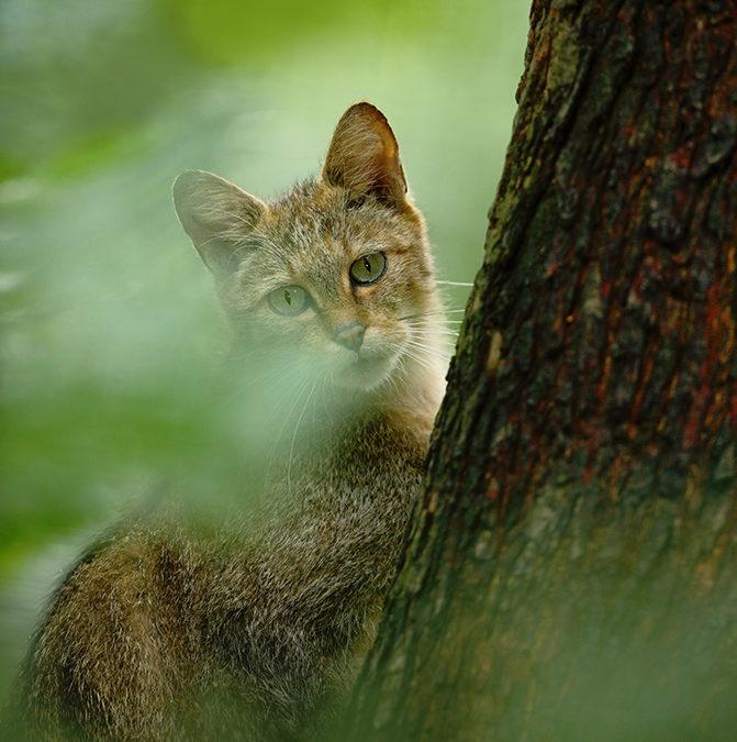 В Австралії вб'ють два мільйони диких кішок