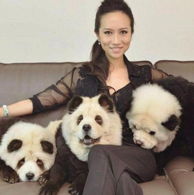 В китайском кафе красили собак и выдавали их за панд